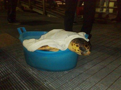 Tartaruga di 30 kg salvata a Stromboli