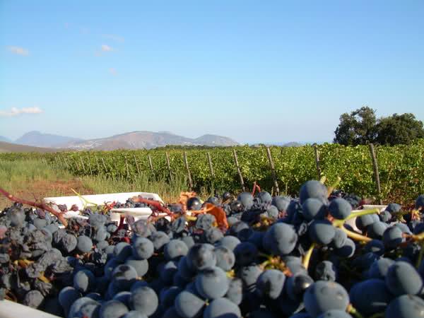 Alla scoperta dei vitigni delle Isole Eolie: il Corinto Nero2° Parte