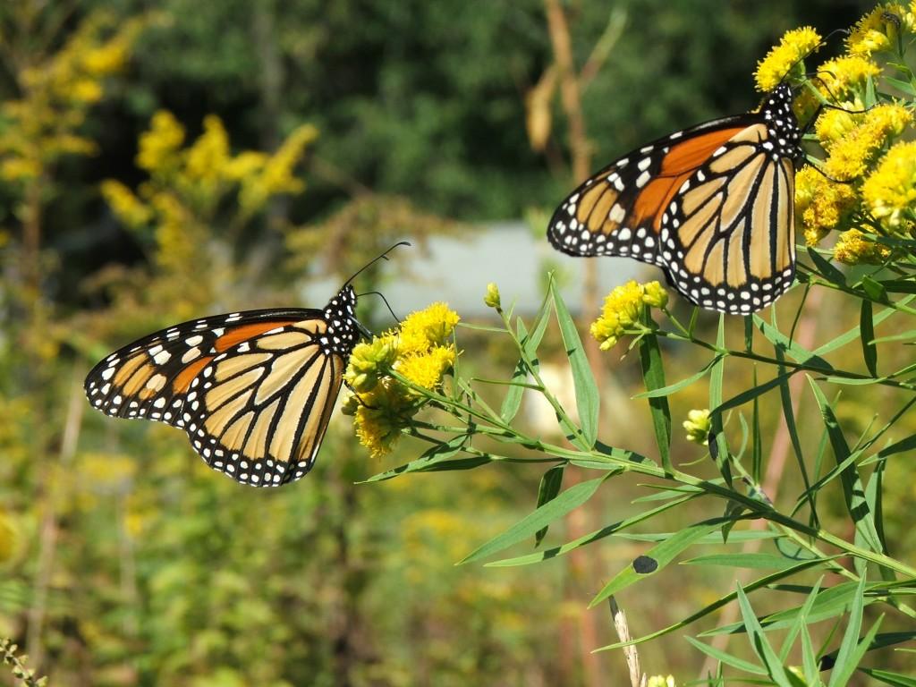 """Butterfly week"": per un lieve battito d'ali …"