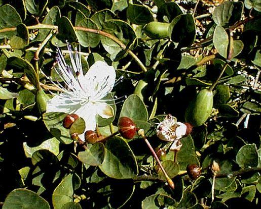 Le piante medicinali eoliane - 1° parte